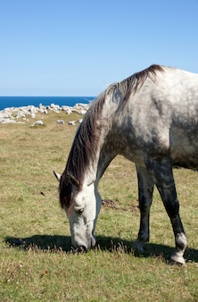 Horse grazing in the mountains of nueva de llanes in spain