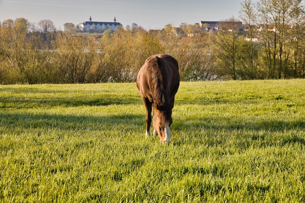 ドイツのプレーンの城館のある緑の牧草地での馬の放牧