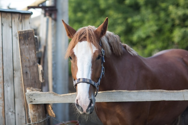 Horse hanoverian red brown color with white  strip line