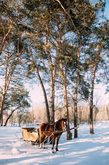 A horse in a harness in the sunlight on the snow