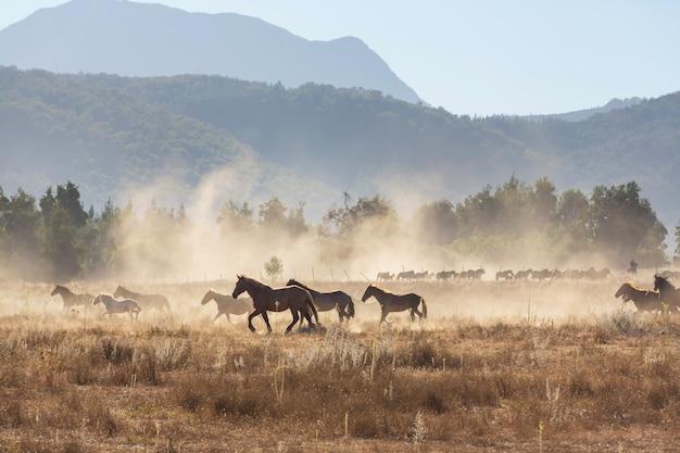 南米チリの牧草地を走る馬の群れ