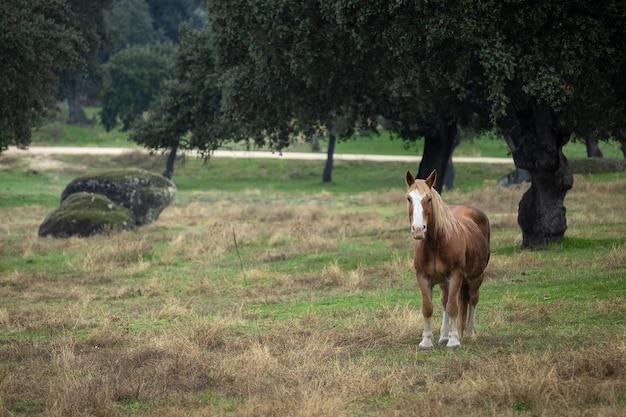 デエサデラルスの馬。エストレマドゥーラ。