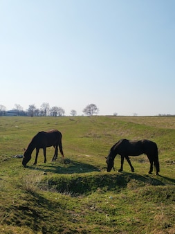 The horse is grazing in a green meadow. the horse is eating grass in a green field.
