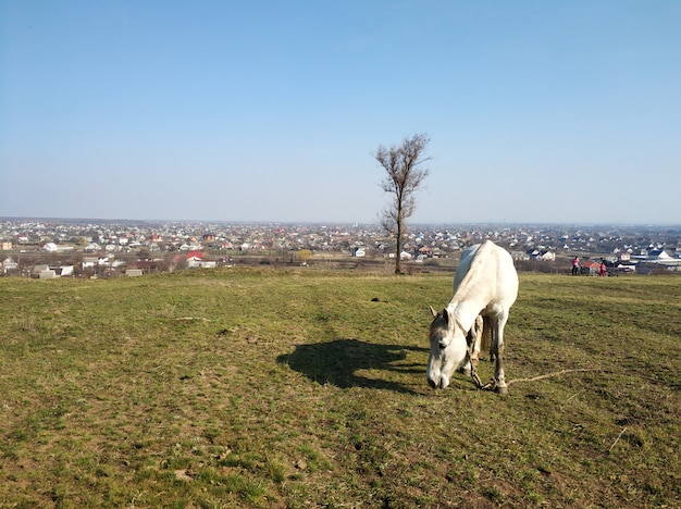 The horse is grazing in a green meadow. the horse is eating grass in a green field