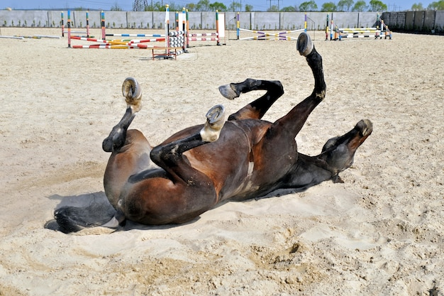 Horse is rolling on the sand  on manege