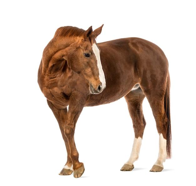 Лошадь оглядывается перед белой поверхностью Premium Фотографии