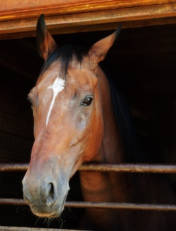 Horse looking out of a stall