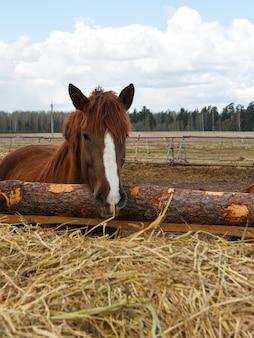 Лошадь на природе. портрет лошади, коричневая лошадь