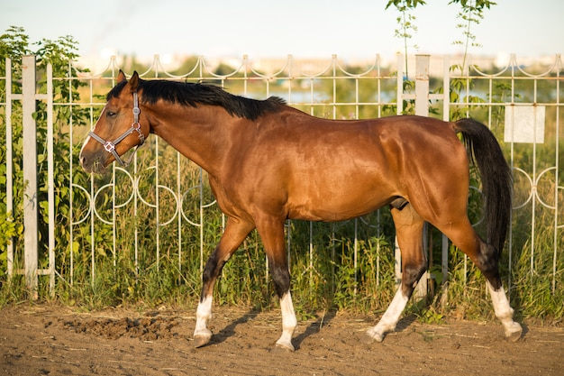 Horse red brown color with white  strip line