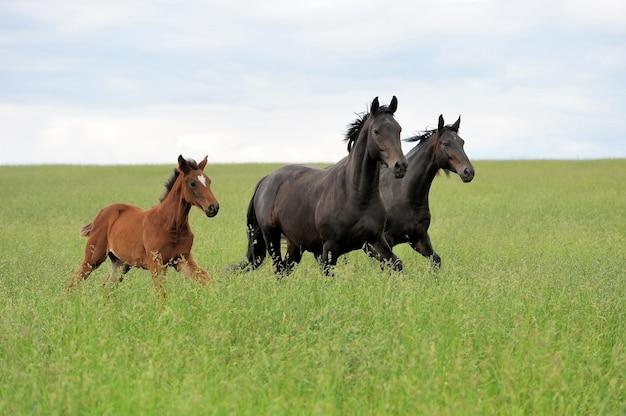 馬はフィールドでギャロップを実行します