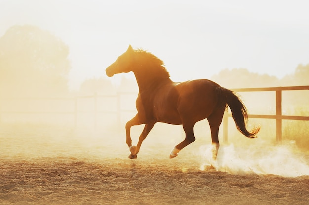 The horse runs in pili against the sunset. strength of a horse at a gallop.
