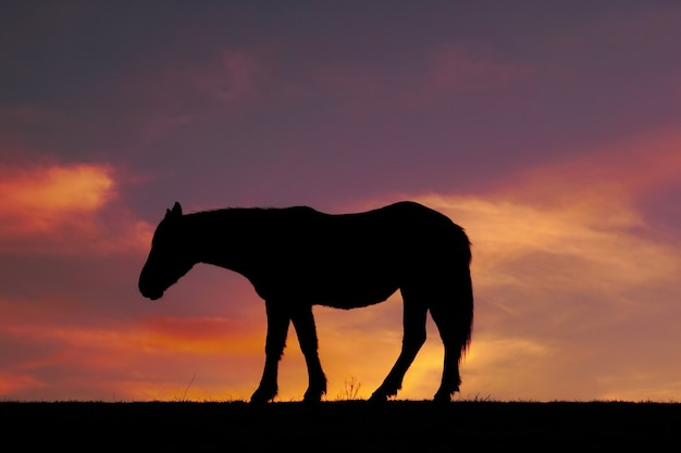 Horse silhouette and sunset in the meadow