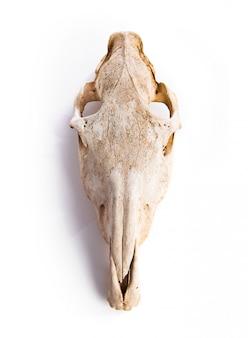 Cranio del cavallo