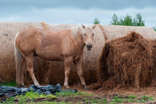 カナダ、アルバータ州、北アルバータ、干し草俵の近くに立つ馬