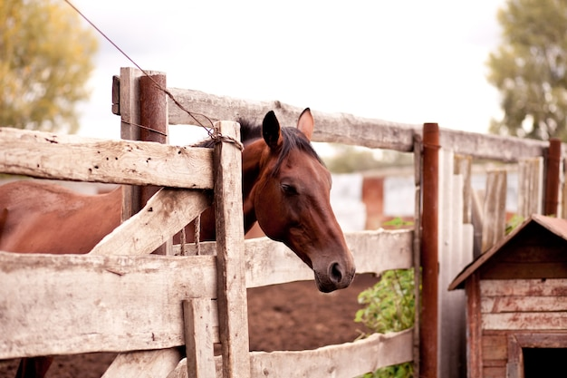 A horse standing behind a old wooden fence in a horse farm