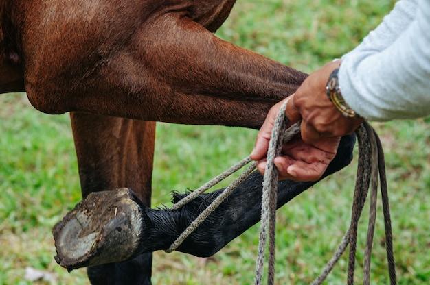 Дрессировщик лошадей, поднимающий ногу кобылы