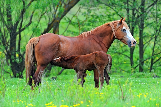 牧草地に子牛を持つ馬