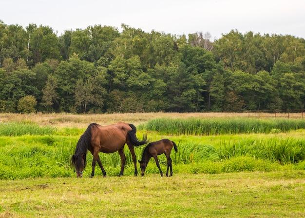 牧草地に子馬を持つ馬
