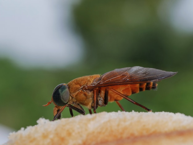Horsefly(曖昧さ回避)は危険な馬飛行です