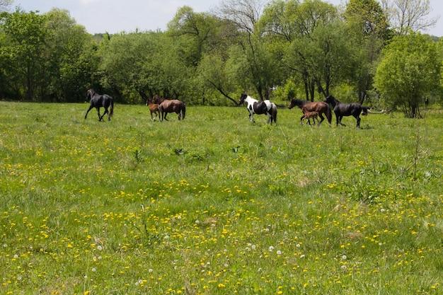 牧草地の馬と子馬