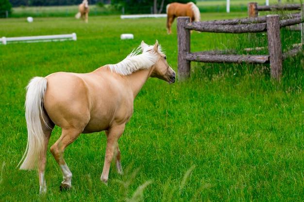 ゴールデンアワーの馬牧場の馬。国の夏の風景。