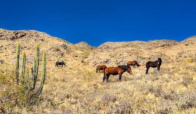 ペルーのコルカ渓谷の馬