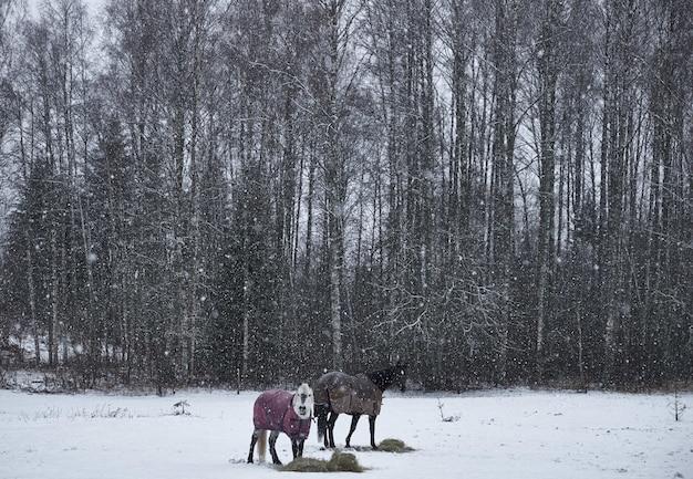 Cavalli in cappotti in piedi sul terreno innevato vicino alla foresta durante il fiocco di neve