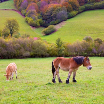 Horses and cows grazing in pyrenees meadows at spain