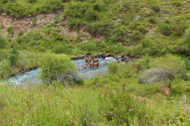 Horses drink water from mountain river