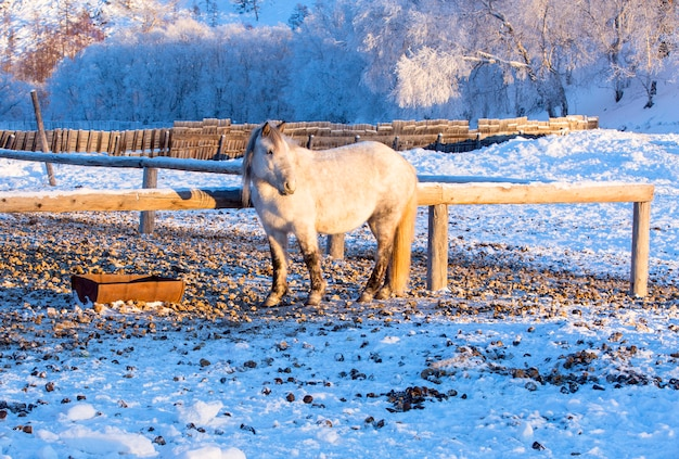 Horses on a farm in the frosty winter evening