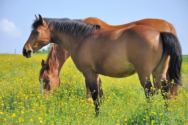 Horses in a flowwery meadows