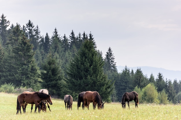 Horses on free pasture in the carpathian mountains of transylvania. horses in free range.