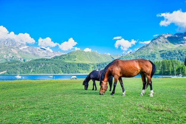Horses graze in high mountain meadows near a alpio lake