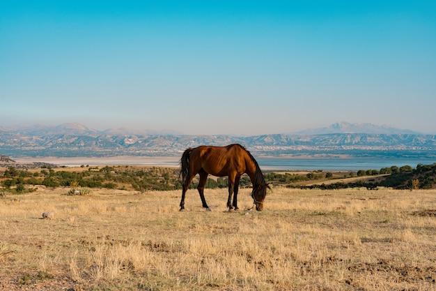 金色の牧草地で放牧されている馬