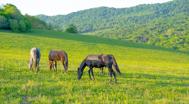 Horses graze in the mountains in summer
