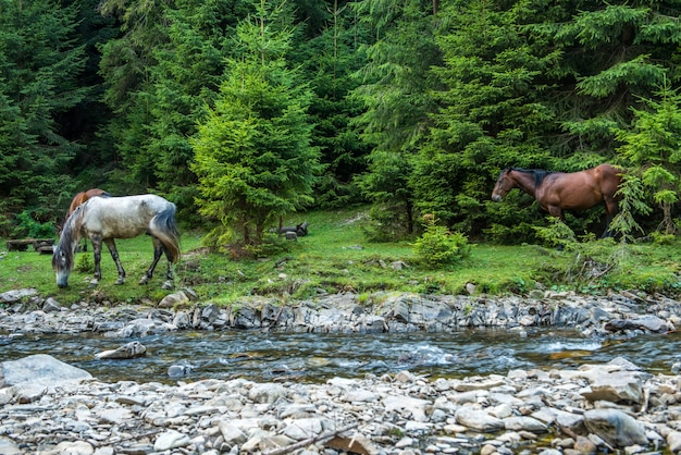 Horses graze near a mountain river in ukraine