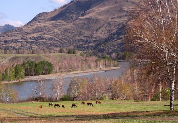 Лошади пасутся на горном лугу на берегу катуни вдалеке.