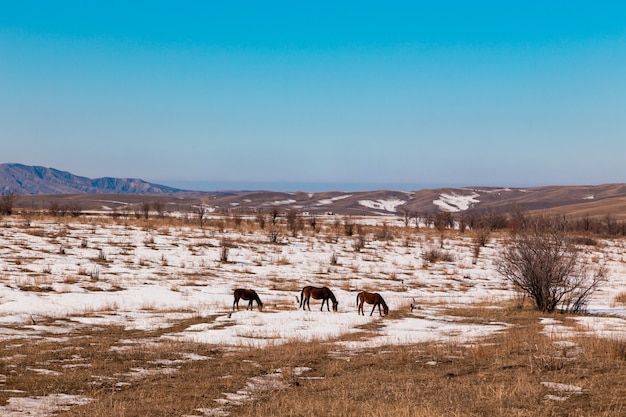 Horses graze on a snowy meadow in the mountains