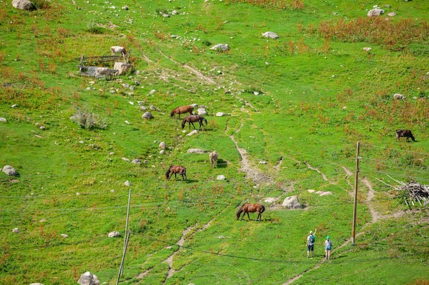 Horses grazing fresh green grass on pasture. animal.