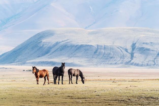 クライ草原で放牧している馬。動物と秋の朝の風景。アルタイ、ロシア