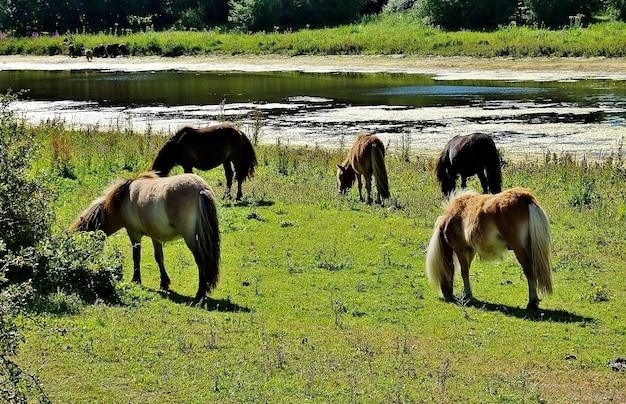 農村部の湖の近くの谷で放牧している馬