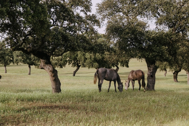 Horses grazing in a meadow with holm oaks