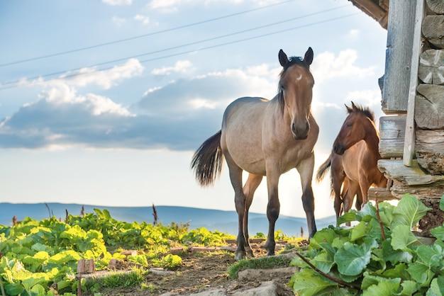 日没時に野原で放牧している馬