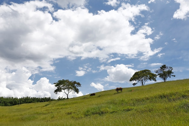 Horses grazing on top of green hill with blue sky and clouds. minas gerais state. brazil
