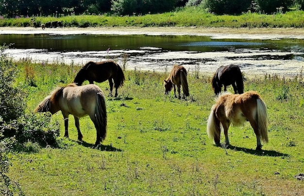 Cavalli al pascolo nella valle vicino al lago in una zona rurale