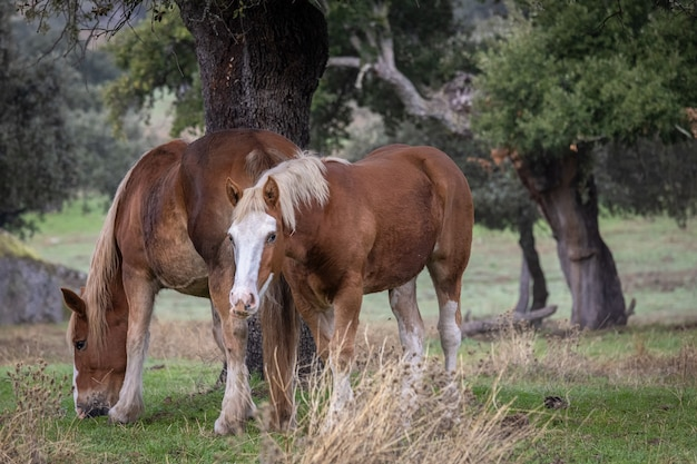 Лошади в поле в эстремадуре.