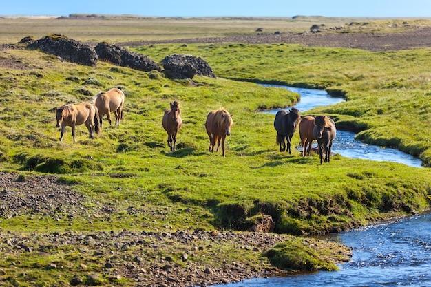 アイスランドの田園風景の緑の芝生のフィールドの馬。横ショット