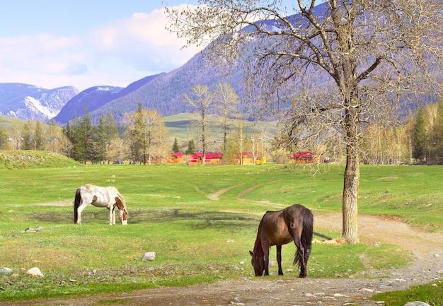 알타이 산맥의 말 애완동물들이 마을을 배경으로 봄 목초지에서 풀을 뜯고 있다