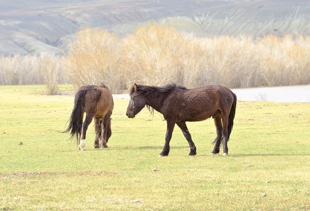 アルタイ山脈の馬ペットは日光の下でチュイ渓谷の春の牧草地で放牧します