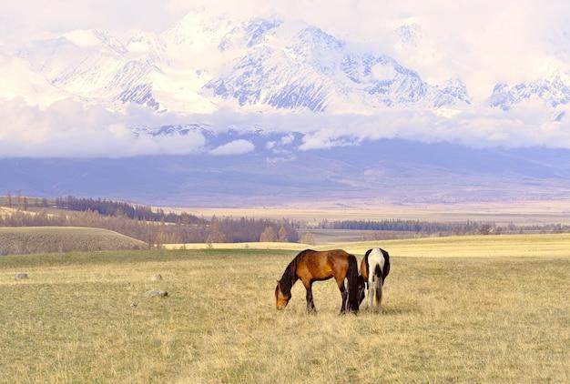 アルタイ山脈の馬ペットは、クライ草原の春の牧草地で放牧します